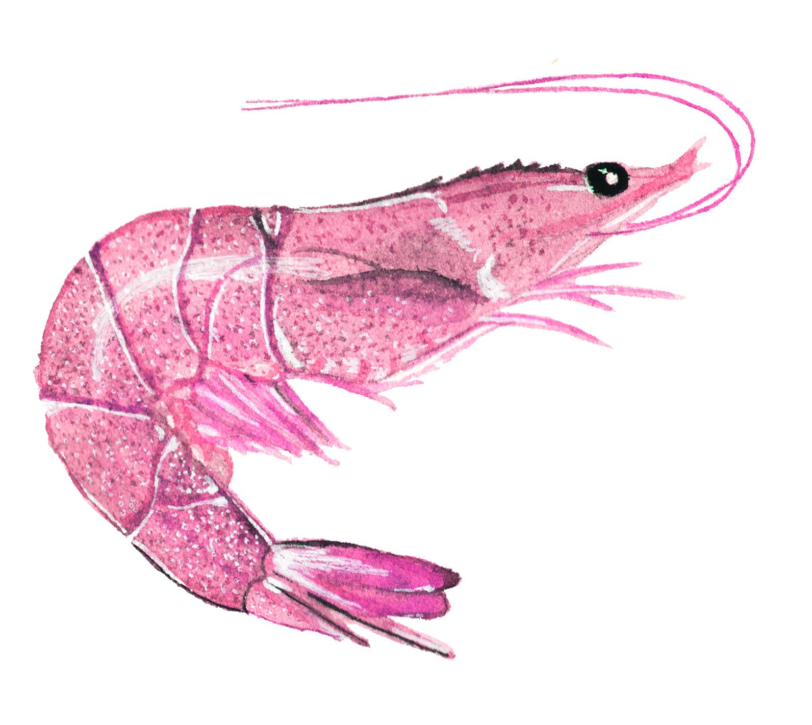gambero-rosa